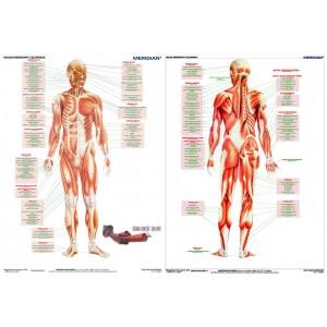 DUO Układ mięśniowy człowieka - tablica ścienna