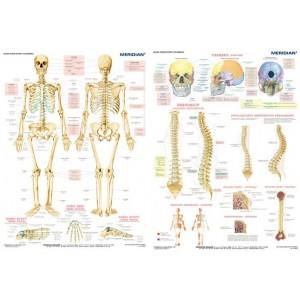 DUO Układ szkieletowy człowieka - tablica ścienna