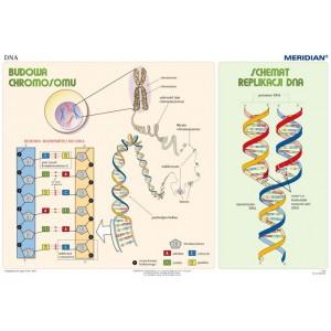 Podstawy genetyki DNA - tablica ścienna